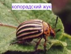 koloradski-guk