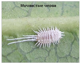muchnistye-chervi
