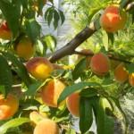 persik-derevo mechty