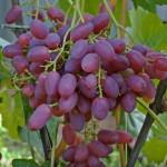 vyrashhivaem-vinograd