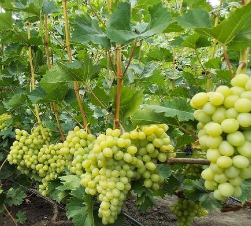 vyrashhivaem-vinograd2