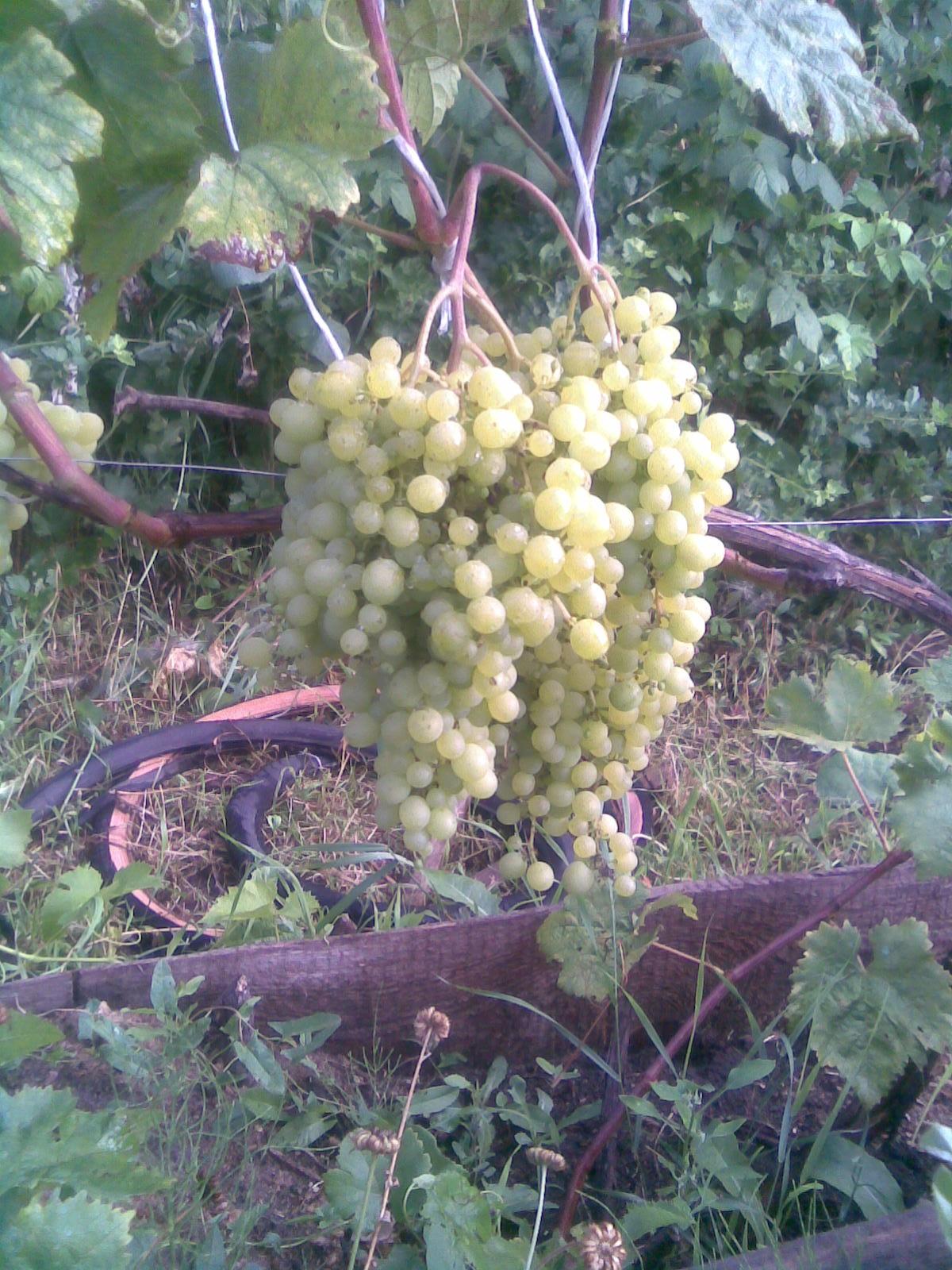 vyrashhivaem-yagodu-vinograd